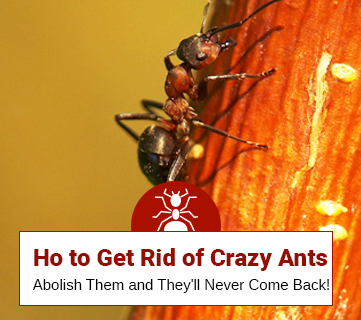 How to Get Rid of Crazy Ants? (A Simple Guide)