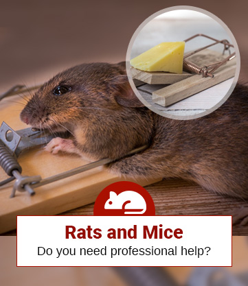 How Much Do Rat Exterminators Cost? (A Simple Guide)