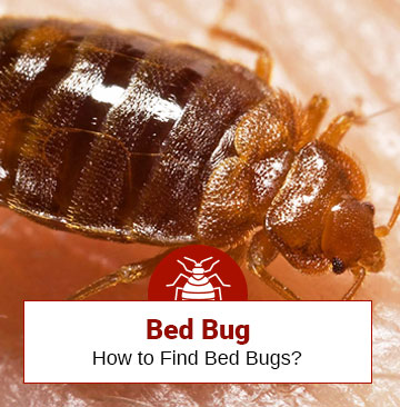 How to Find Bed Bugs During the Day Time