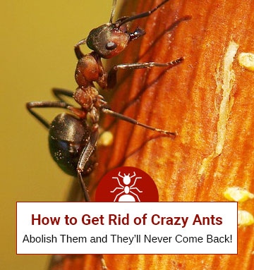 How to Get Rid of Crazy Ants