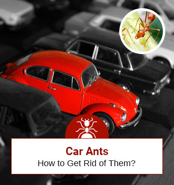 Ants in Your Car! Check How to Get Rid of Ants in Your Car