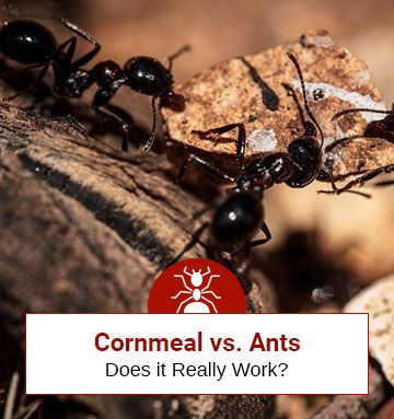 Cornmeal vs. Ants: Does it Work?