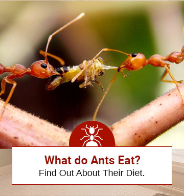 Find Out The Eating Habits of Ants