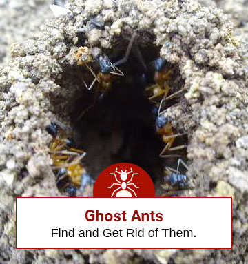 Ghost Ants… Sounds scary! Find Out How to Get Rid of Them?