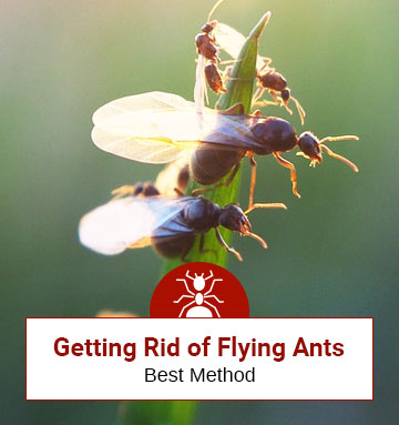 How to Get Rid of Flying Ants (aka Swarming Ants)