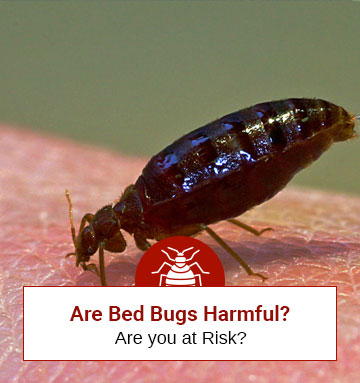 Are Bed Bugs Harmful? (Important Things You Should Know Now)