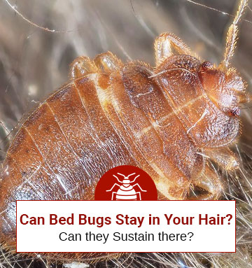 Can Bed Bugs Hide Within Your Hair? (Shocking Answer)