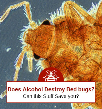 Can Rubbing Alcohol Destroy Bed Bugs?