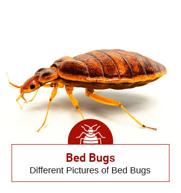 How Bed Bugs Look Like