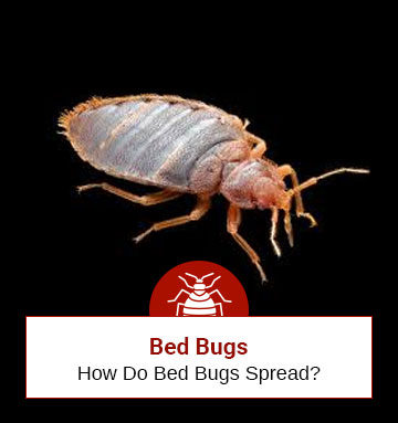 How Do Bed Bugs Spread From One Place To Another
