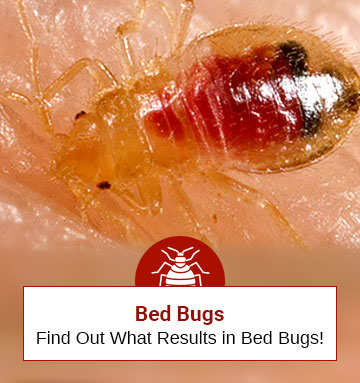 What Results In Bed Bugs? (Discover Whether You Are At Risk Or Not)